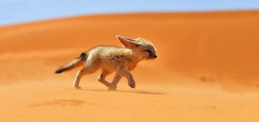 fennec fox running in the dessert